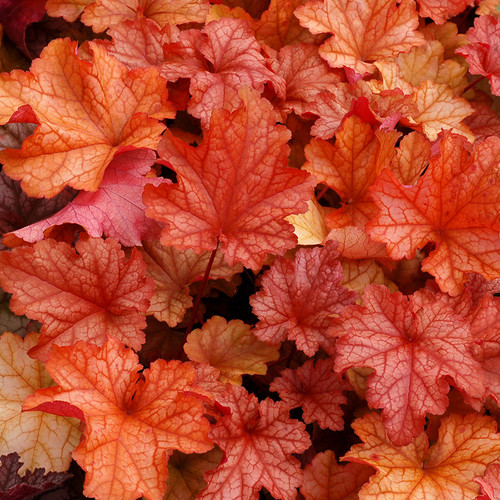 Heuchera Paprika (72 cells) PP24575