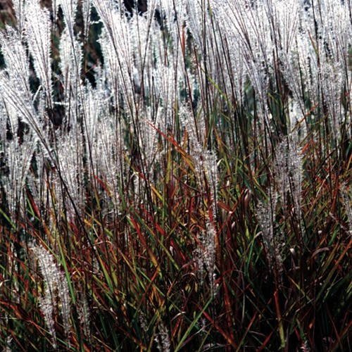 Miscanthus Purpurascens (72 cells)