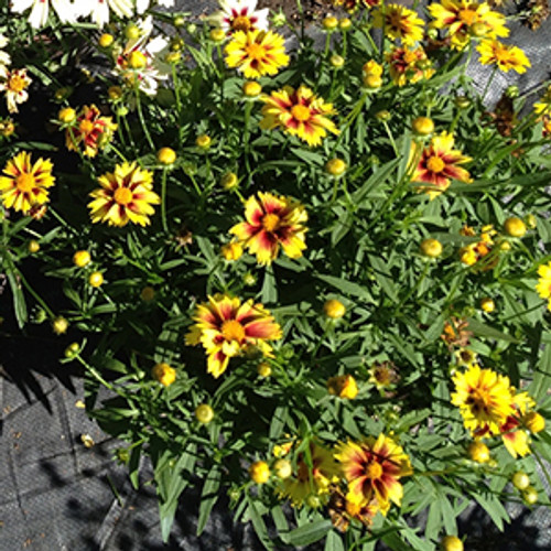 Coreopsis Lil Bang™ Enchanted Eve  (72 cells) PP27857