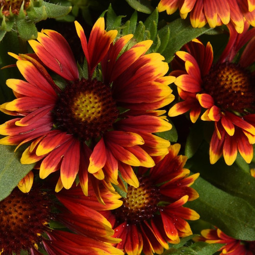 Gaillardia Spintop Orange Halo (72 cells) PP29205