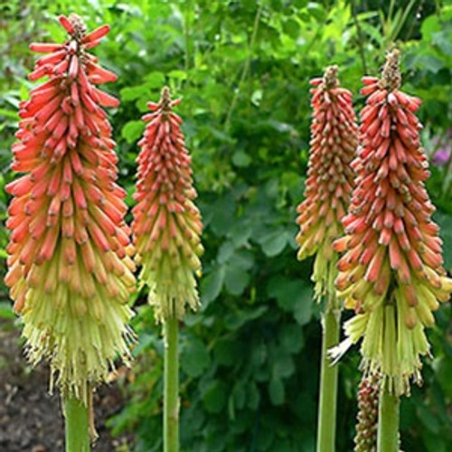 Kniphofia uvaria Flamenco (72 cells)