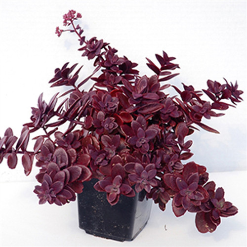Sedum Sunsparkler® Firecracker  (72 cells) PP26595