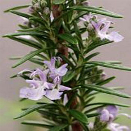 Rosmarinus officinalis Barbeque (72 cells)