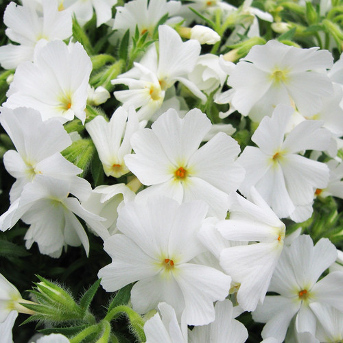 Phlox subulata Spring White (72 cells)