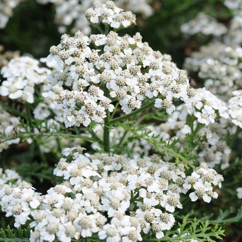 Achillea New Vintage™ White (Balvinwit) (72 cells) PP25711