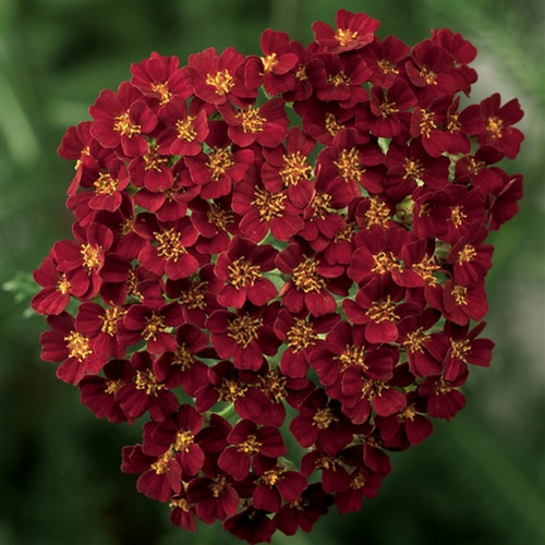 Achillea Desert Eve™ Red Improved  (72 cells) PP22333