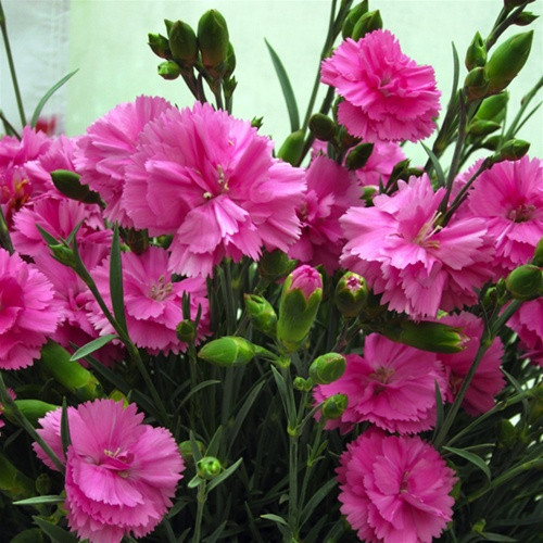 Dianthus SCENT FIRST™ Tickled Pink (72 cells) PP14919