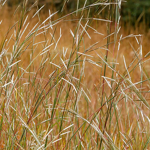 Andropogon ternarius (38 cells)