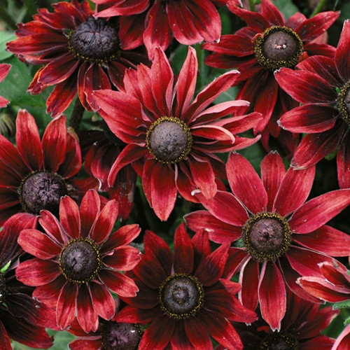 Rudbeckia hirta Cherry Brandy (72 cells)