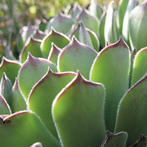 Sempervivum Hardy Species Mix (72 cells)