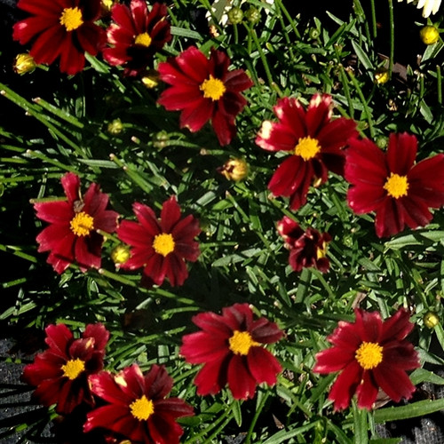 Coreopsis Lil Bang™ Red Elf  (72 cells) PP27918