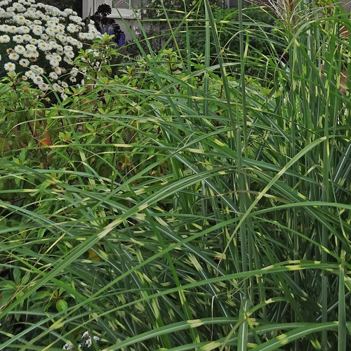 Miscanthus sinensis Tiger Tail (38 cells) PP21788