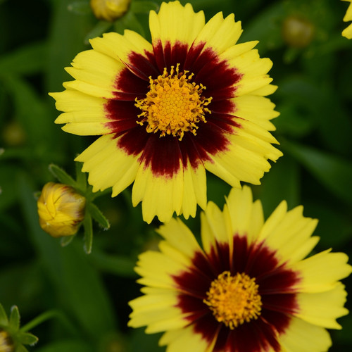 Coreopsis Uptick™ Yellow & Red (72 cells) PP28865
