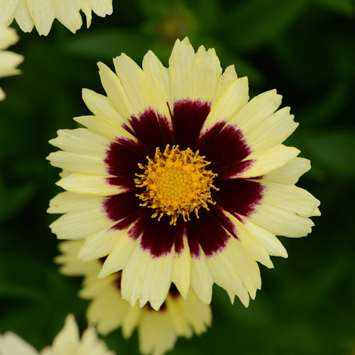 Coreopsis Uptick™ Cream & Red (72 cells) PP28866