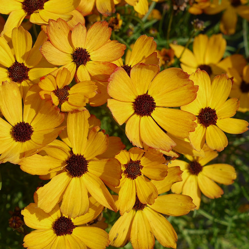 Coreopsis PermaThread™ Butter Rum (72 cells) PP32739