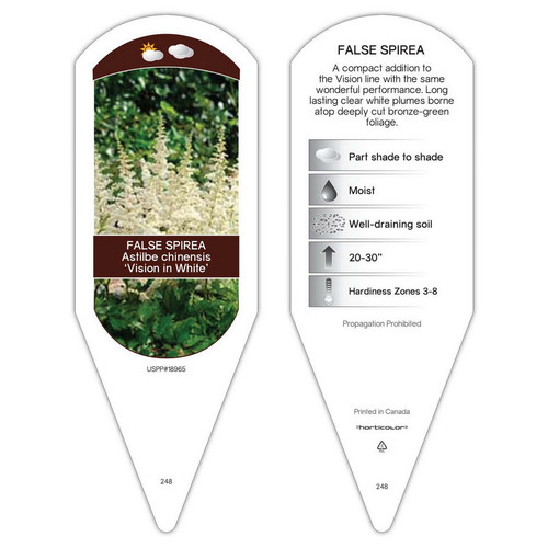 Astilbe chinensis Vision in White   1 Tag