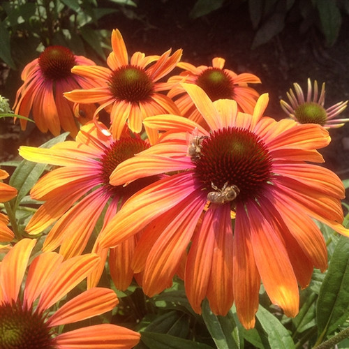 Echinacea Butterfly™ Rainbow Marcella  (72 cells) PP28573