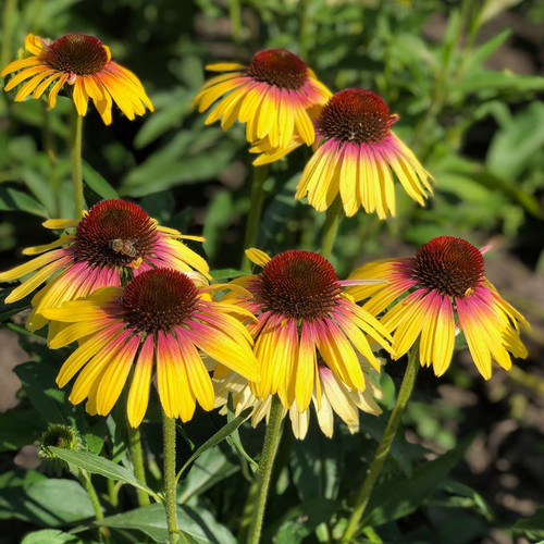 Echinacea Butterfly™ Yellow Marcella  (72 cells) PP32292
