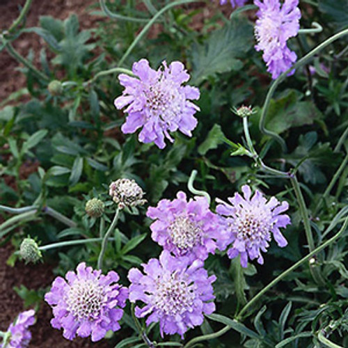 Scabiosa columbaria Butterfly Blue (72 cells)