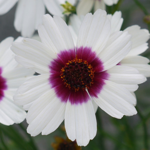 Coreopsis Satin & Lace™ Ice Wine (72 cells) PP31367
