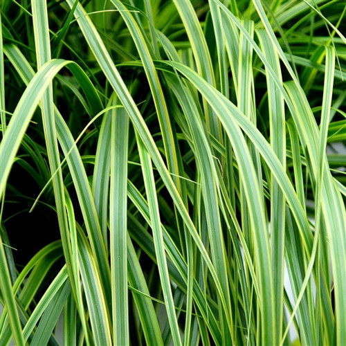 Carex oshimensis EverColor® Everlime (50 cells) PP25622
