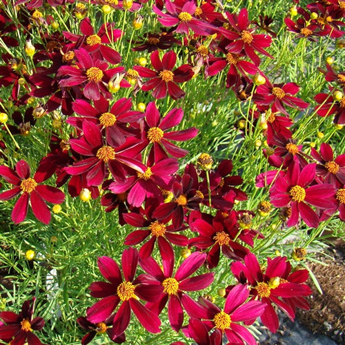 Coreopsis PermaThread™ Red Satin  (72 cells) PP25736