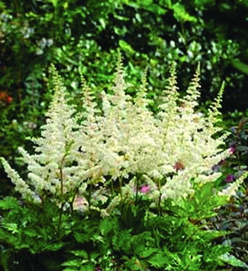 Astilbe chinensis Vision in White (38 cells) PP18965
