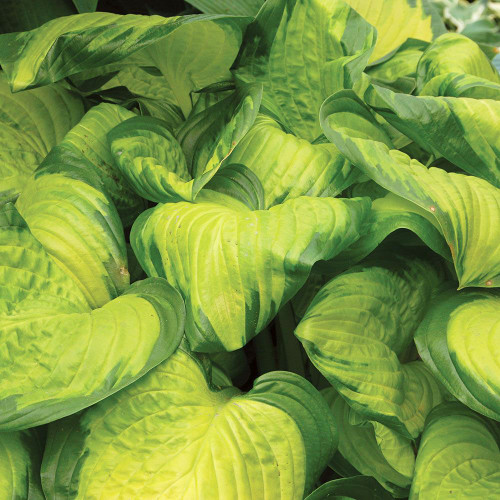 Hosta Stained Glass (38 cells)