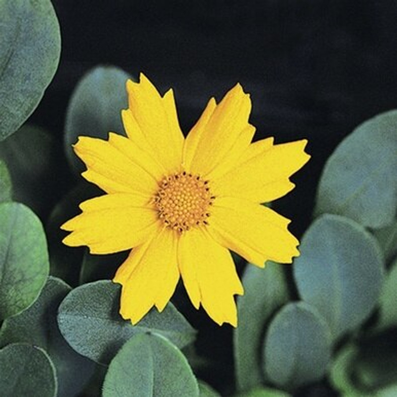 GREEN ANATOMY - Coreopsis 'Nana' (Mouse-eared Tickseed)