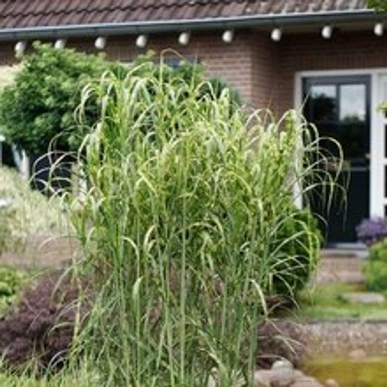 When Size Matters... (Miscanthus xGiganteus and Alligator)