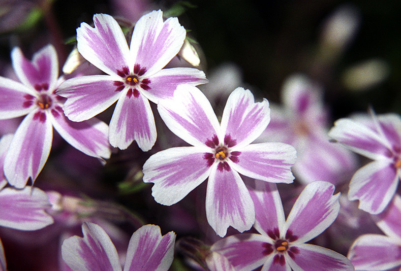 Don't Let Spring Creep Up On You! (Phlox subulata)