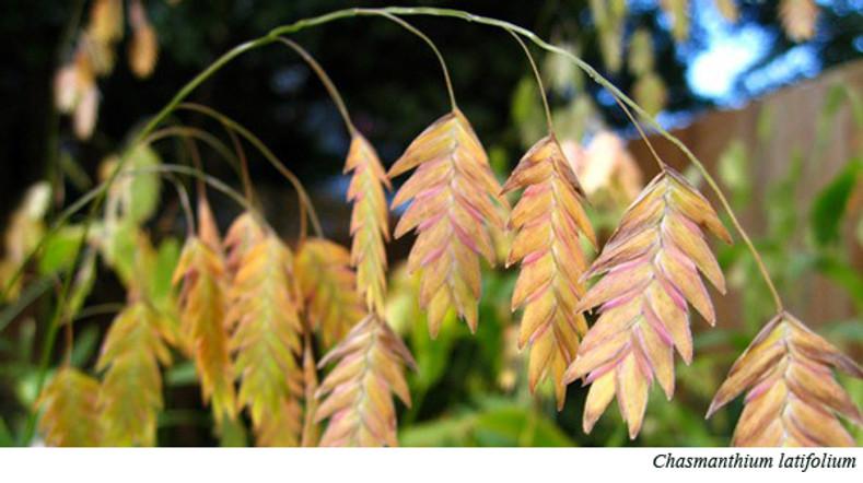 "Chasmanthium latifolium ""Northern sea oats"""
