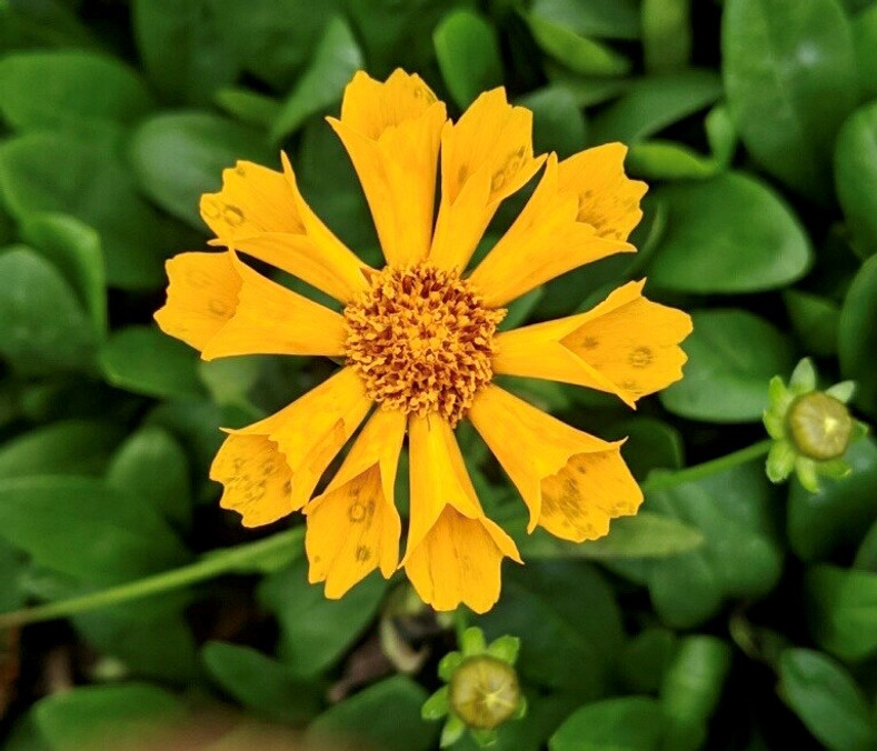 THE END TO BORDER WARS: Part II (Coreopsis)
