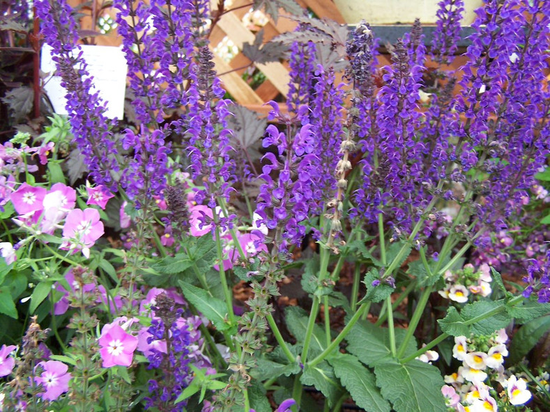 Please, Use the Pseudonyms - (Salvia nemorosa April Night & May Night)
