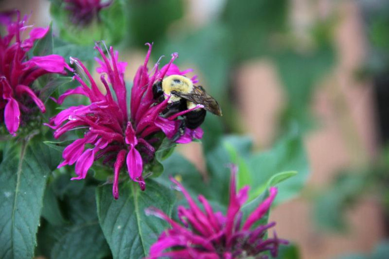 NOT EVERYBODY LOVES MONARDA......And That's a GOOD Thing!