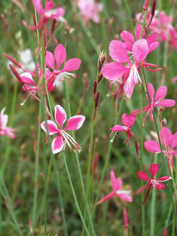The Lovely Wand Flower: Garden Magic!  (Gaura lindheimeri)