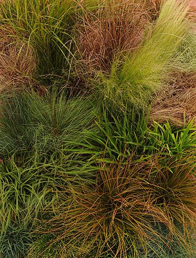 IT'S A GRASS GRASS GRASS! Carex ColorGrass® Series