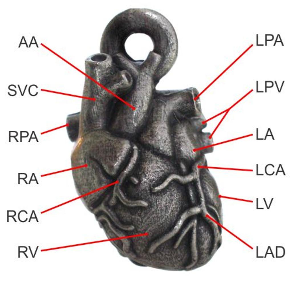 Aortic Arch, Superior Vena Cava, Right Pulmonary Artery, Right Atrium, Right Coronary Artery, Right Ventricle, Left Pulmonary Artery, Left Pulmonary Vein, Left Atrium, Left Coronary Artery, Left Ventricle, Left Anterior Descending Coronary Artery.