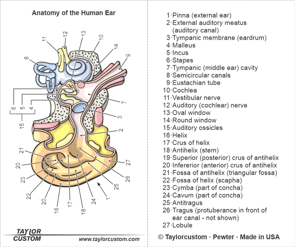 human ear anatomy diagram - product packaging