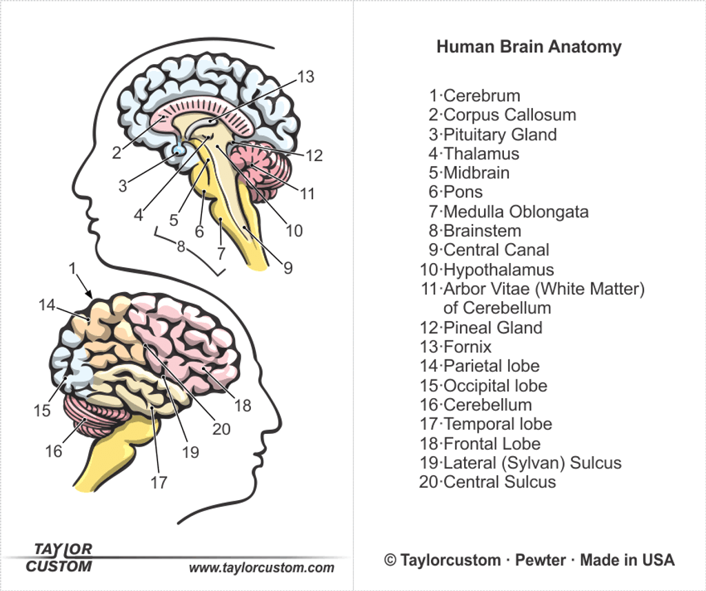 human brain diagram packaging insert for brain earrings
