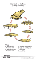 frog life cycle diagram - keychain packaging
