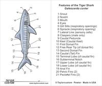 tiger shark diagram - necklace packaging insert