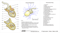 choanoflagellate keychain packaging