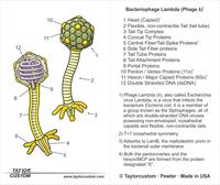 packaging insert for Lambda bacteriophage lapel pin