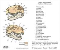 Dimetrodon Skull illustration