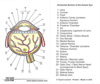 Human eye diagram - product packaging