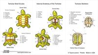 tortoise anatomy keychain packaging