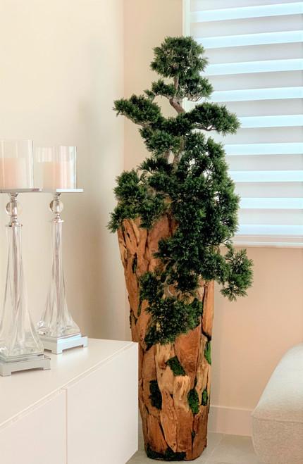 Large Trailing Cedar Bonsai on One-of-a-Kind Teak Planter