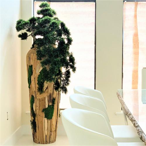 Extra Large Trailing Cedar Bonsai on One-of-a-Kind Teak Planter