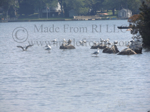 Congress Of Gulls Indian Lake